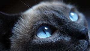 哈瓦那棕猫耳朵怎么护理 猫耳朵清理视频教程