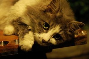 挪威森林猫绝育后怎么护理 绝育后护理要点
