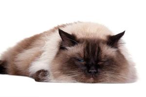 布偶猫发情症状有哪些